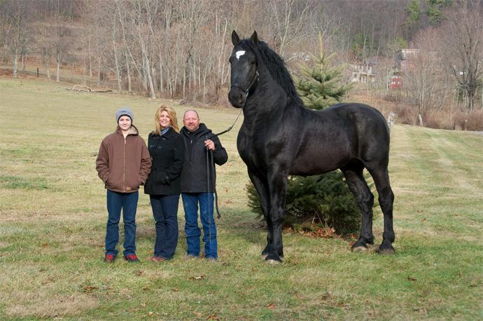 Ten koń to przedstawiciel rasy Perszeron - inteligentny, pracowity i gigantyczny!