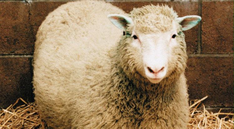 Owieczka Dolly urodziła się w 1996 roku i była pierwszy sklonowanym ssakiem. To zdecydowanie najbardziej znana przedstawicielka swojego gatunku