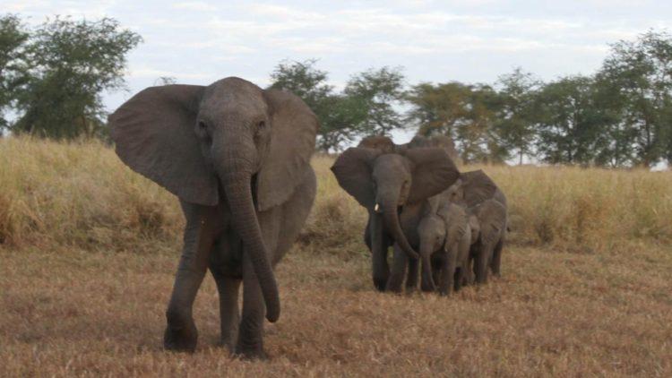 Słonie mają ogromne uszy, ale słabo słyszą. Za to, jako jedyne zwierzęta lądowe - potrafią płakać