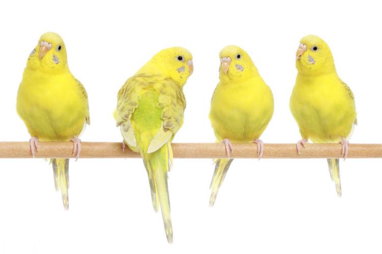 Papużki faliste świetnie przyswajają słowa - rekordzistką była papużka z Ameryki, która znała ich ponad 1700