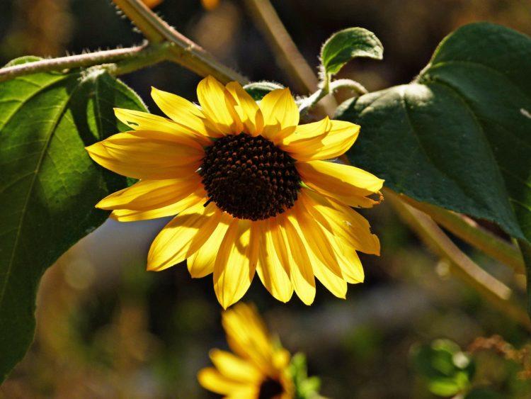 Dość słońca mogą mieć nawet słoneczniki, bo temperatury przekraczające 42 st. C powodują ścinanie się białka niezbędnego do życia