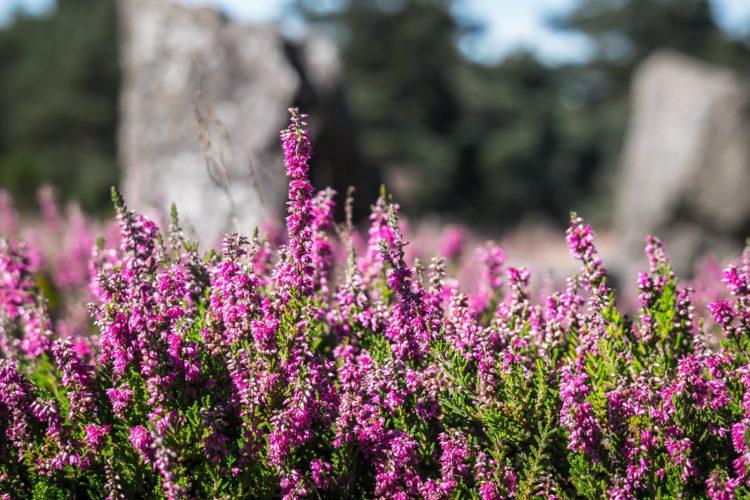 Wrzosy to urocze kwiaty, które cechuje odporność i trwałość - to też symbolizują