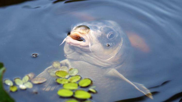 Karp to ryba, która jest obecna na większości wigilijnych stołów. Jak tam trafił?