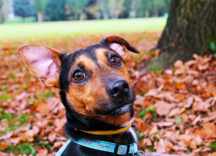 Gadżety dla psa to m.in. obroże i identyfikatory, dzięki którym uda się uniknąć traumy zagubienia