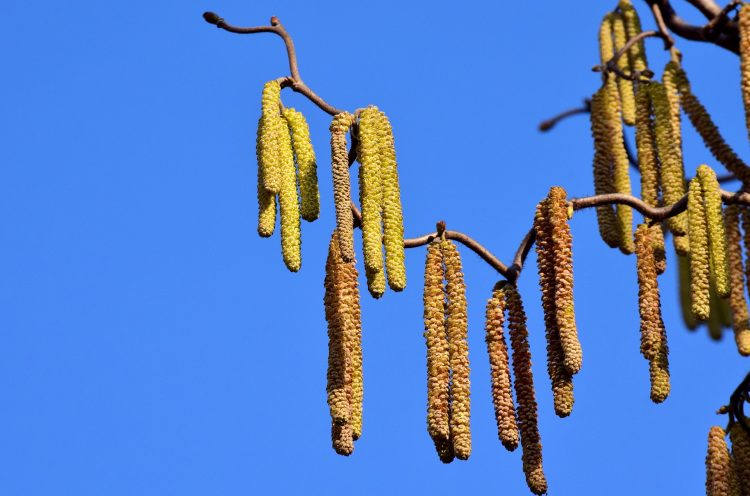 Pylenie roślin może powodować alergie u osób uczulonych